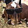 lousy goat Olav
