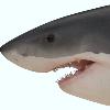 Sharky305