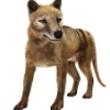 Tituswolf