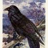 Corvus Handly