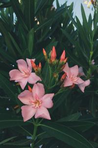 Predating Oleander